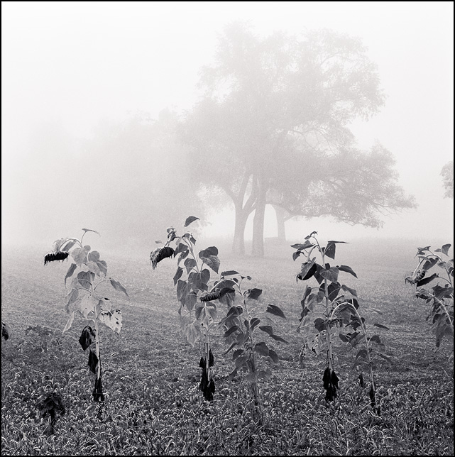 Sunflower plants on the edge of a field shrouded in heavy fog on a winter morning in rural Indiana.