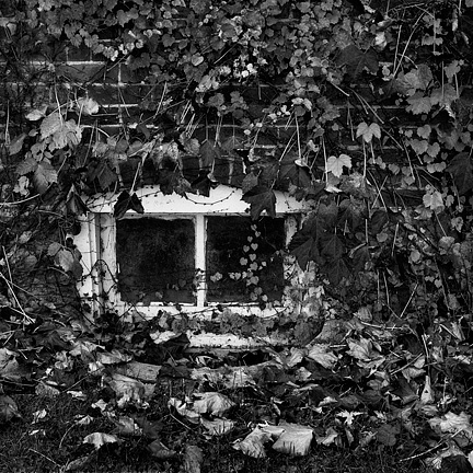 A basement window surrounded by vines on a brick ivy covered farmhouse in Whitley County, Indiana along County Line Road.