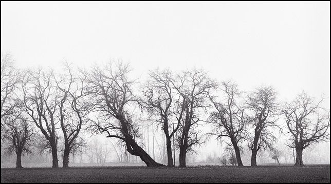 A line of trees in a heavy fog in rural Indiana.